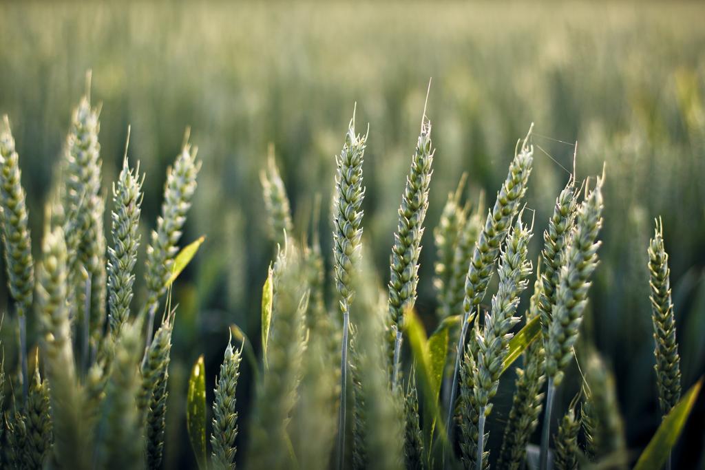 Wheat - Ashburton Lyndhurst Irrigation Limited